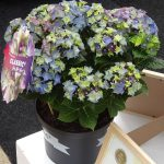 Hydrangea macrophylla Lady Mata Hari - wersja niebieska