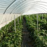 Rośliny papryki Balta F1 charakteryzują się niskim wzrostem (dwa zewnętrzne rzędy)
