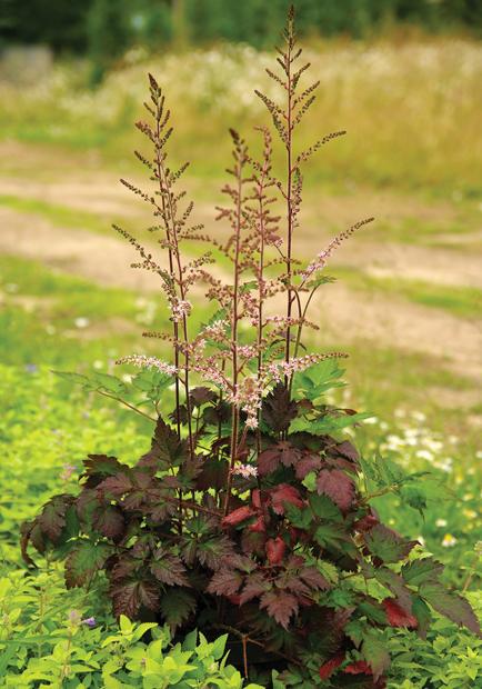 Astilbe Color Flash 'beauty of ernst', fot. konkurs roślin nowości zszp
