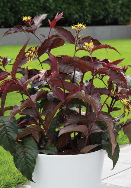 Diervilla ×splendens Diva 'El madrigal', fot. konkurs roślin nowości zszp