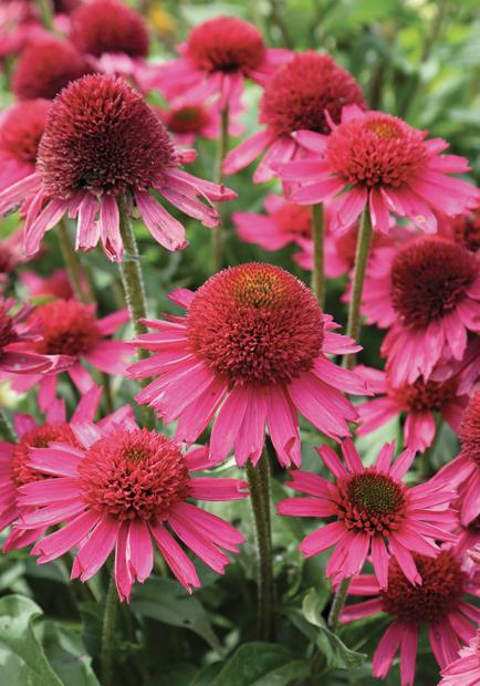 echinacea 'delicious candy' 4 fot. konkurs roślin nowości zszp