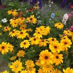 Letnie byliny - rudbekie, jeżówki i ostróżki