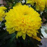 Chryzantema_Fiebre_Flower Expo Poland