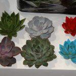 Echeveria-dla-florystow_Amigo-Plant