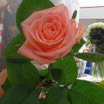 Roza_Karina_bestseller_Podosinki