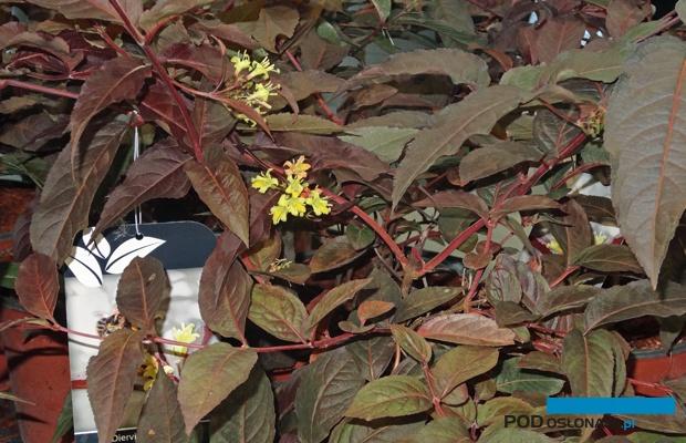 zadrzewnia okazała (Diervilla ×splendens) Diva 'El Madrigal' PBR