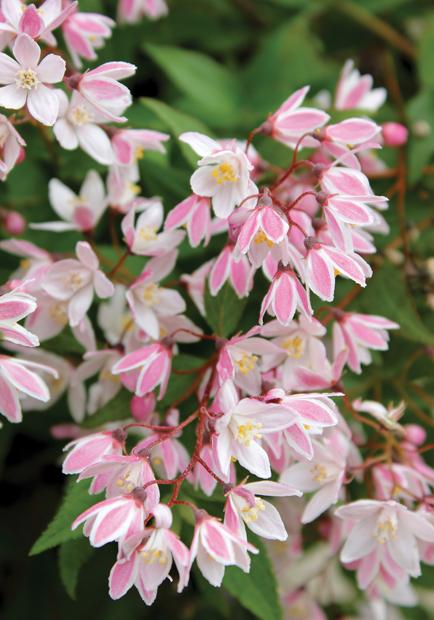 Deutzia yuki cherry blossom 'ncdx2' pbr