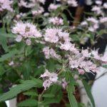 Caryopteris-cladonensis_STEPHI_srebrny medal_GrootGroen-Plus-2017