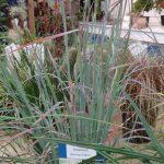 Schizachyrium-scoparium _Standing-Ovation_Aboutplants Zundert_GrootGroenPlus-2017