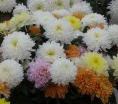 Chryzantemowe Dni Otwarte firmy Cichoń wyróżniała oferta odmian do uprawy na kwiaty cięte, fot. A. Cecot