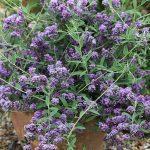 Buddleja alternifolia Unique w pelni kwitnienia_fot. Plantipp