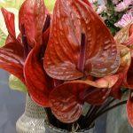 Anthurium-Cantello_Royal-FloraHolland_Trade-Fair-Aalsmeer_2017