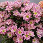 Chrysanthemum-Stripy_Dekker__Royal-FloraHolland_Trade-Fair-Aalsmeer_2017