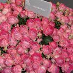 Roza-LavenderLace_Interplant-Roses_IFTF 2017