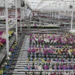 Stopień robotyzacji w produkcji i przygotowaniu do sprzedaży storczyków robi bardzo duże wrażenie – transport roślin jest w pełni zautomatyzowany