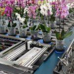 Doniczki z roślinami są transportowane w systemie WPS (Walking Plant System)