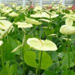 Anturium odmiany Marysia o bardzo subtelnym kremowożółtym kolorze pochwy kwiatostanowej otrzymało nazwę na cześć właścicielki firmy – pani Marii Ptaszek