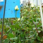 Kolejnym gatunkiem uprawianym w szklarniach firmy JMP Flowers są róże. W uprawie prowadzony jest monitoring obecności szkodników i pełna ochrona biologiczna