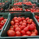 Pomidory zbierane są do uniwersalnych skrzynek plastikowych