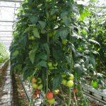 Rośliny pomidora Rapanui F1 mają zrównoważony wzrost i rozwój