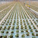 Produkcja rozsady ogórków