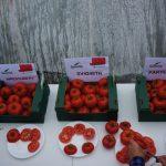 Nowości odmianowe do uprawy w tunelach - pomidory Wrestler F1, SV4248TH F1, Partova F1