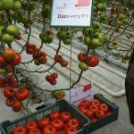 Pomidor wielkoowocowy Ducovery F1 w uprawie w wysokich tunelach