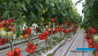 Pomidor malinowy Mei Shuai F1