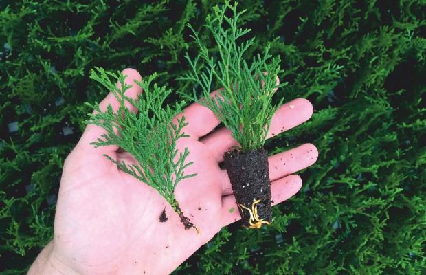 Różnica w ukorzenianiu sadzonek przy zastosowaniu ukorzeniacza (po prawej) i bez (po lewej)