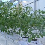 Doświetlana uprawa w szklarni Ultra-Clima, Holandia, listopad 2012 r.