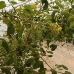 Pierwsze grona pomidorów truskawkowych w doświetlanej holenderskiej uprawie w szklarni Ultra-Clima (11 listopada)