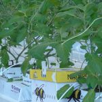We wczesnej doświetlanej uprawie pomidorów wykorzystywane trzmiele wymagają specjalnej troski ogrodnika - czyt też. Uprawa Pomidorów z doświetlaniem