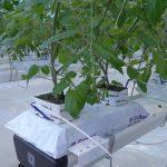 Uprawa pomidorów w szklarni Ultra-Clima w Holandii, 2012 r. pod rynnami uprawowymi znajdują się rękawy rozprowadzające ciepłe i suche powietrze wzbogacone dwutlenkiem węgla