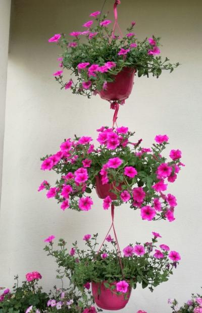 Środkowa roślina została potraktowana preparatem Florgib