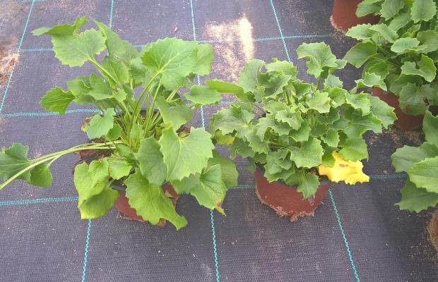 Różnica w pokroju roślin po zastosowaniu Pirouette (po prawej) i bez (po lewej)