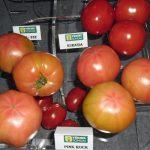 fot. P. Bucki, pomidory z oferty Yuksel Seeds Yulsel Tomum, pomidory malinowe