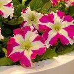 Petunia_SuccessHD-RoseStar_FleuroselectGoldMedal2019
