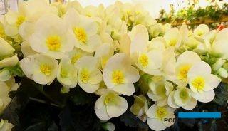 Na targach IPM Essen 2018 dominowały rośliny, wśród których było wiele nowości (tu: Begonia BeLove 'White' z ekspozycji firmy Koppe