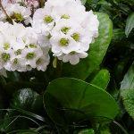 Bergenia cordifolia 'Snow Crystal'