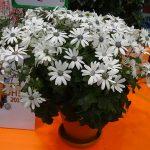 Pericallis×hybrida Senetti 'White'
