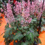 Heucherella hybrida'Pink Revolution