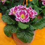 Primula vulgaris (syn. P. acaulis) 'Sweetie'