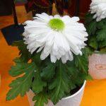 Chryzantema 'Licorne Blanche'