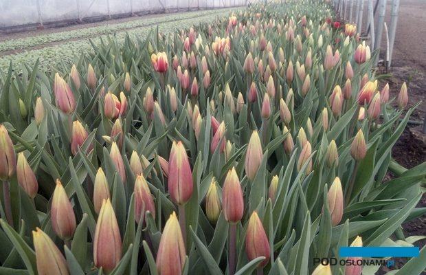 Początek kwitnienia tulipanów w uprawie tunelowej