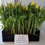 """Tulipany """"Strong Gold' uzyskane w uprawie hydroponicznej"""