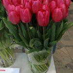 Tulipan odmiany 'Barcelona'