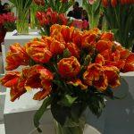 Tulipan odmiany 'Bright Parrot'