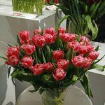 Tulipan odmiany 'Vogue'