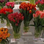 Ekspozycja odmian tulipanów w Wilanowie