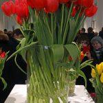 Okazałe kwiaty cięte tulipana odmiany 'Red Bull'